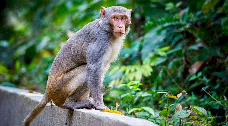 इस देश में बंदरों ने मचाया उत्पाद , सरकार ने सुना दी ऐसी सजा, सुनकर लोगों के उड़ गए होश